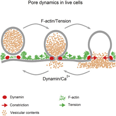 Visualization of Membrane Pore in Live Cells Reveals a Dynamic-Pore Theory Governing Fusion and Endocytosis.